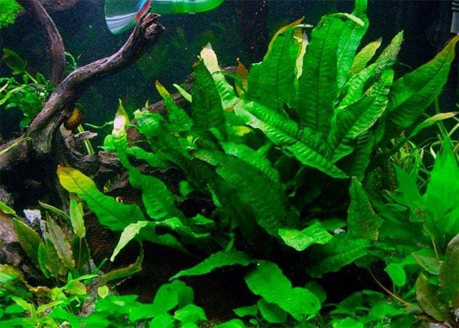Папоротник таиландский и индийский (Водяная капуста, папоротник винделова, болбитис) - аквариумные растения: содержание, уход