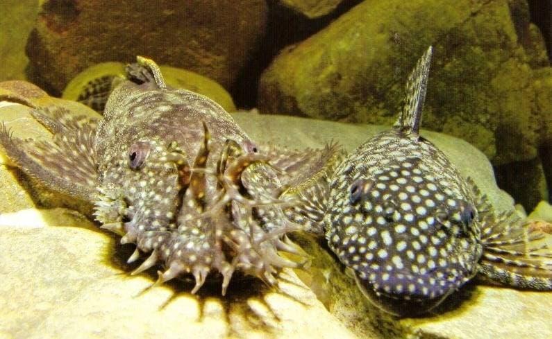 анциструс фото самец и самка