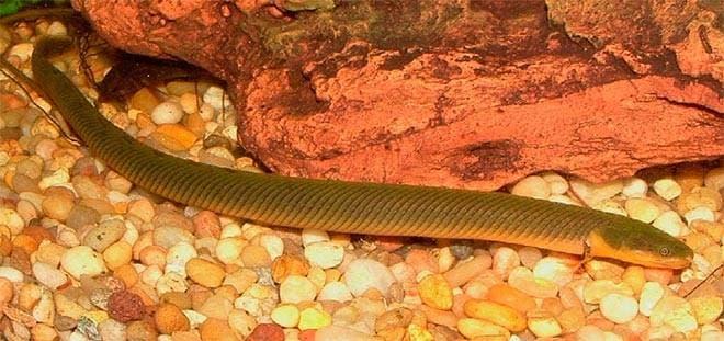 Рыбка змея плавает по дну
