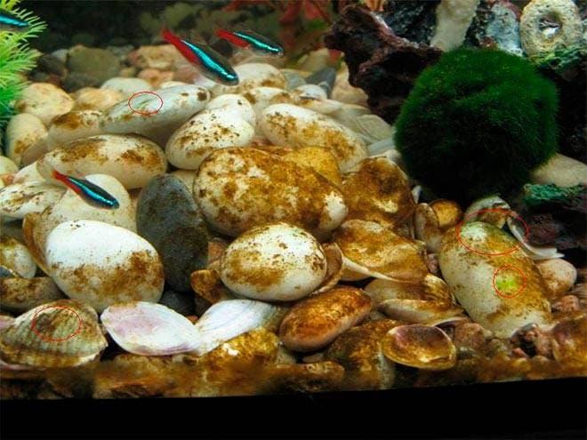 Налёт на камнях в аквариуме