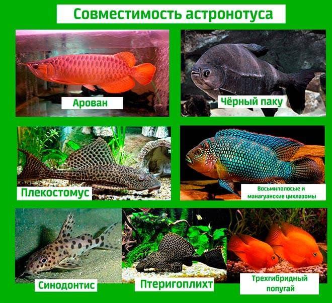 Астронотус и его совместимость с другими рыбами
