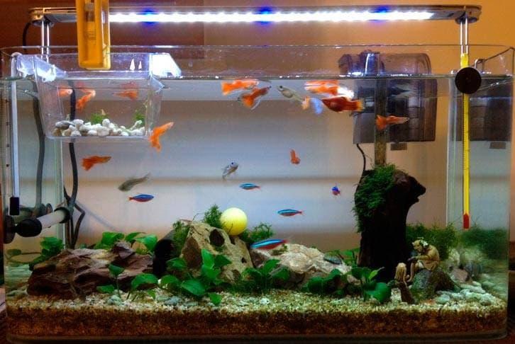 Стайка гуппи в аквариуме