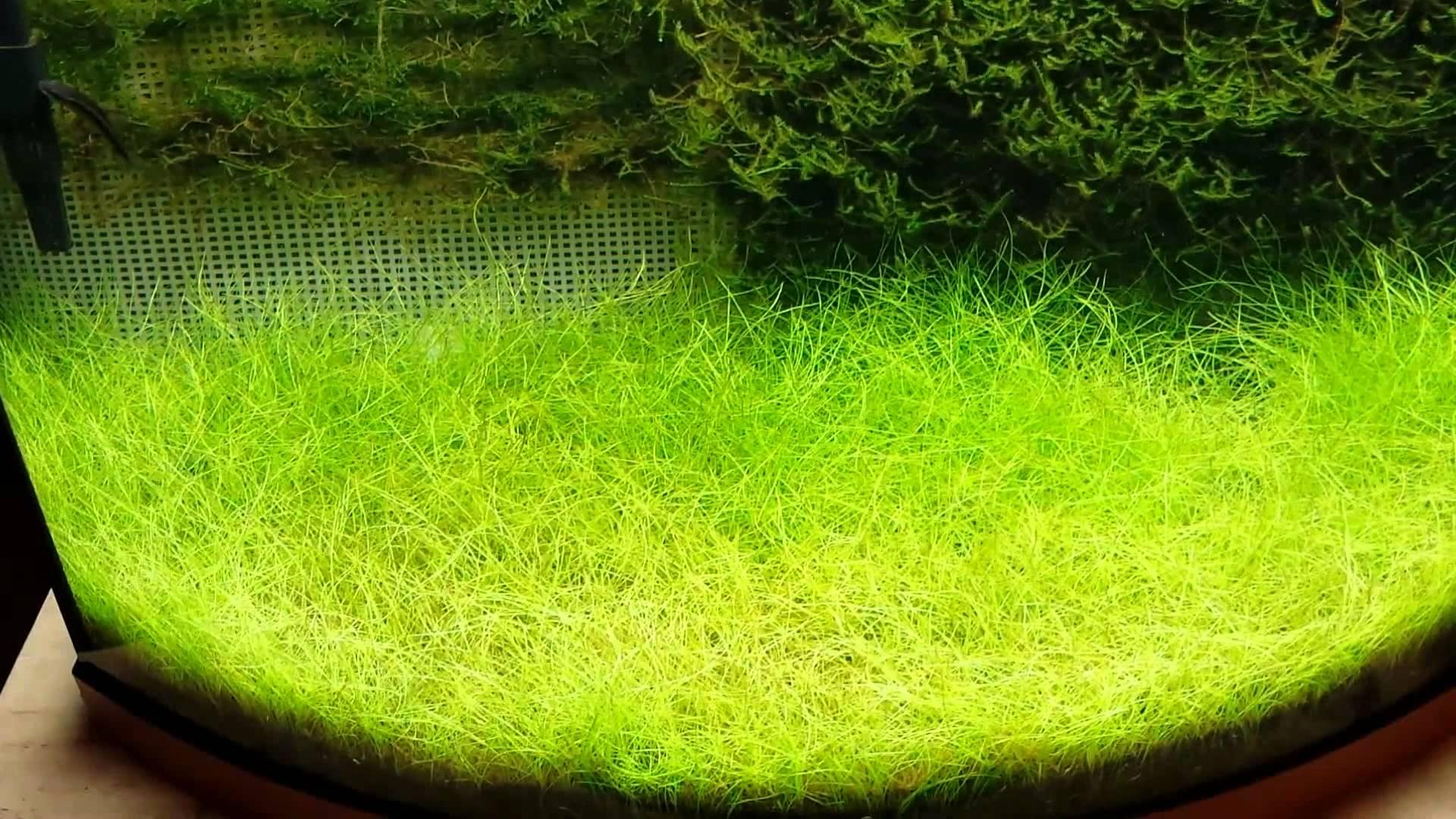 Закреплённый яванский мох