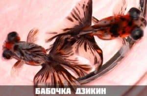 Бабочка дзикин