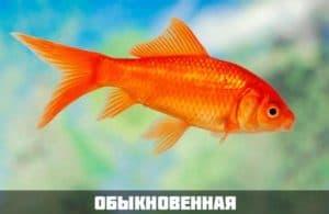 Обыкновенная золотая рыбка