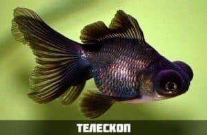 Золотая рыбка телескоп
