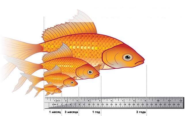 Размеры золотой рыбки