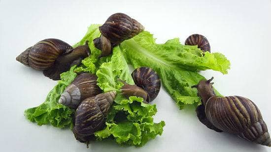 Ахатины едят листья салата
