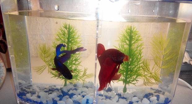 Два петушка отделены в аквариуме