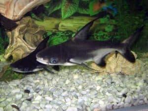 Вымпельная акула