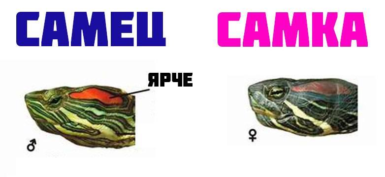 Головы красноухих черепах