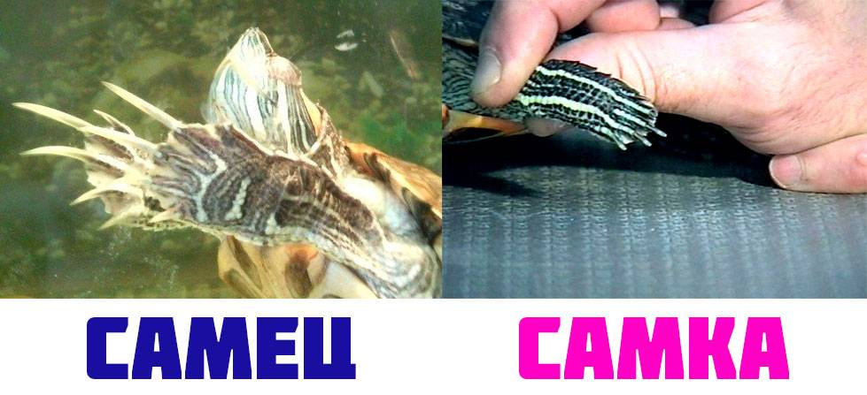 Ногти красноухой черепахи