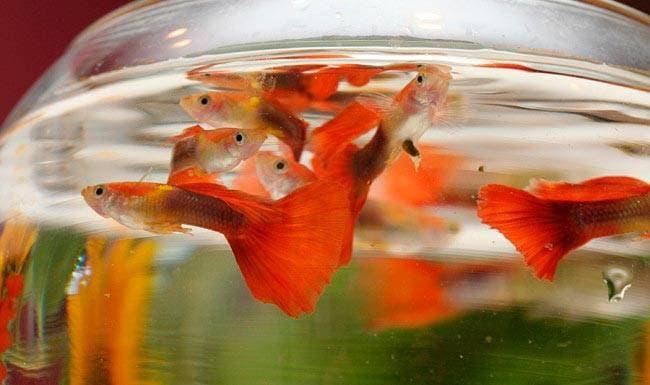Гуппи в круглом аквариуме