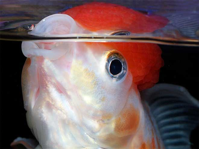 Недостаток кислорода в аквариуме
