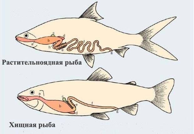 Строение пищеварения хищной и растительноядной рыб