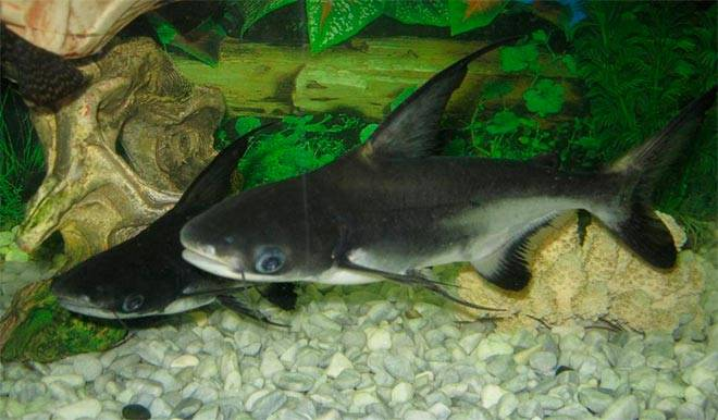 shark catfish
