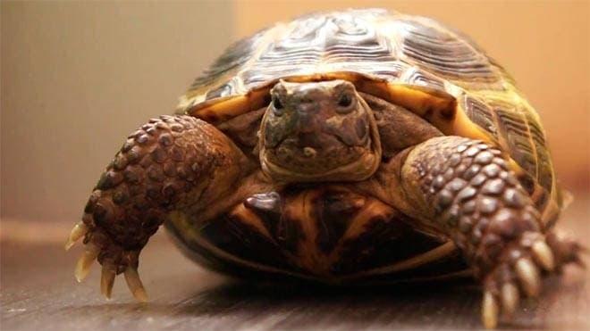 Красноухая черепаха чем кормить и как содержать