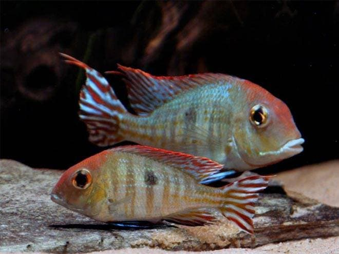 orange-headed geophagus