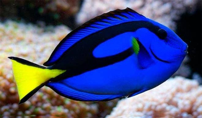 голубая рыба хирург