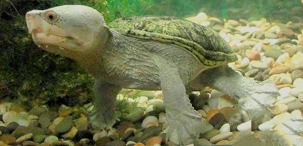 игловая черепаха