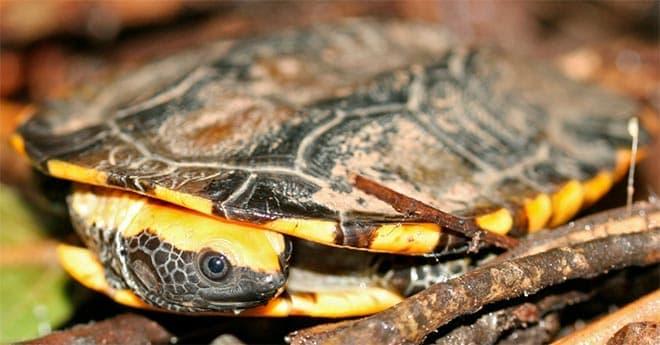 плоская черепаха