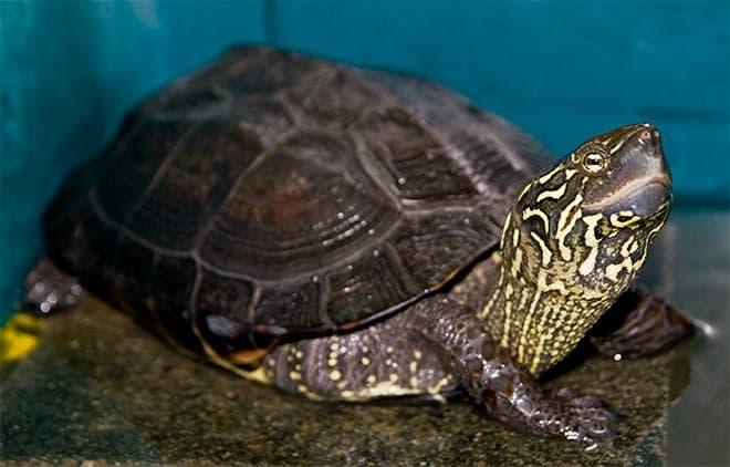 трехкилевая черепаха