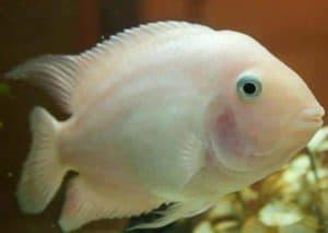 белая рыбка попугай