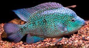 бриллиантовая рыбка попугай