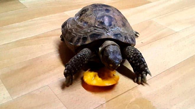 черепаха ест персик