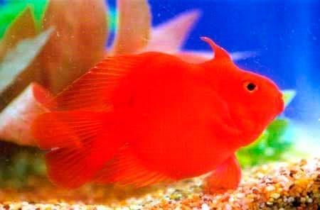 единорог рыбка попугай