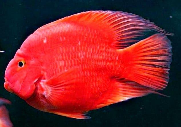 красный слиток рыбка попугай