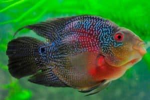 мраморная рыбка попугай
