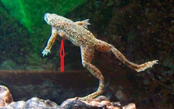 половой диморфизм лягушек