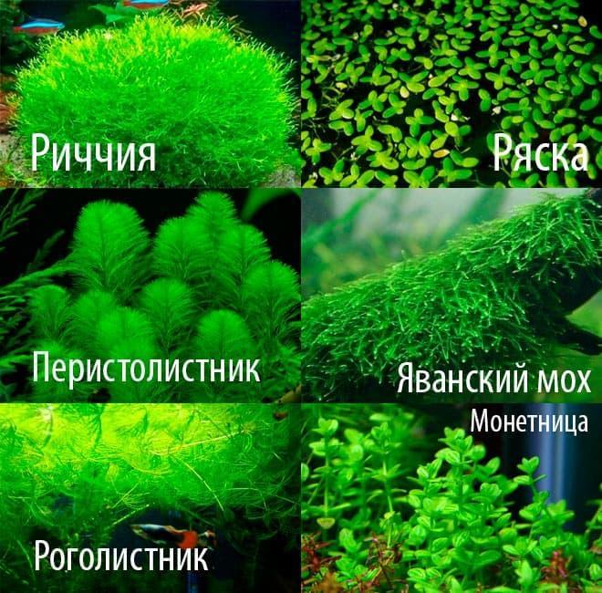 растения для мраморного гурами