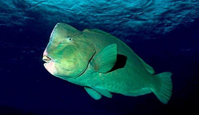 рыба попугай шишколобый