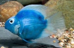 синяя рыбка попугай