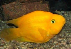 желтая рыбка попугай