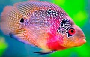 жемчужная рыбка попугай