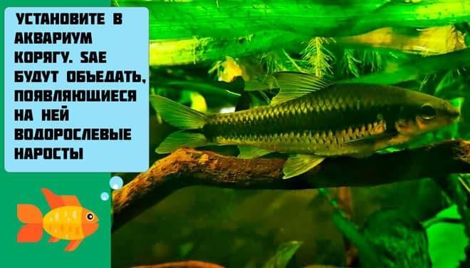 коряга в аквариуме с сае