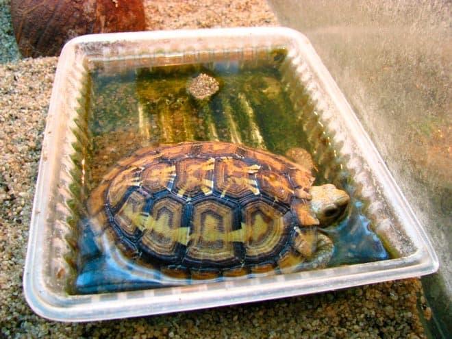 питье черепахи