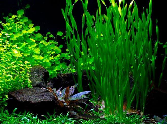 Какие растения нужны для аквариума