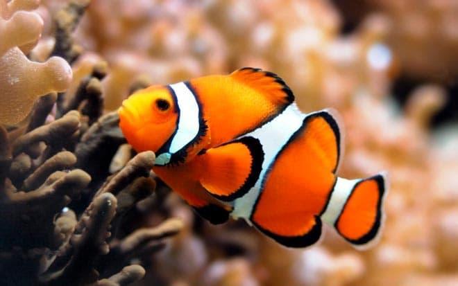 рыбка клоун