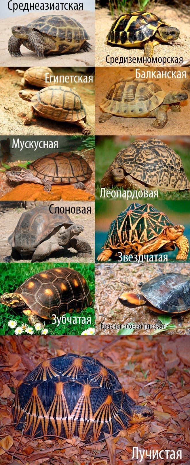 сухопутные черепахи виды