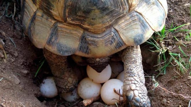 яйца у сухопутной черепахи