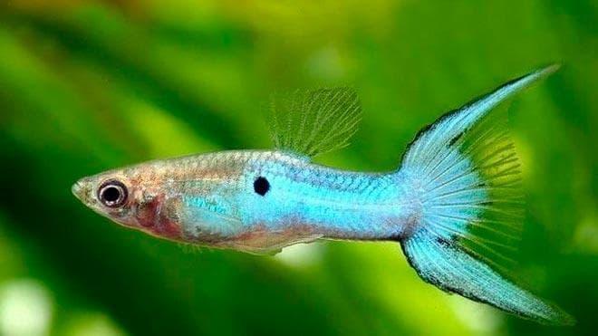 гуппи эндлера японская голубая