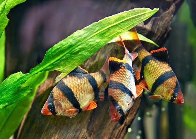 три суматранских барбуса