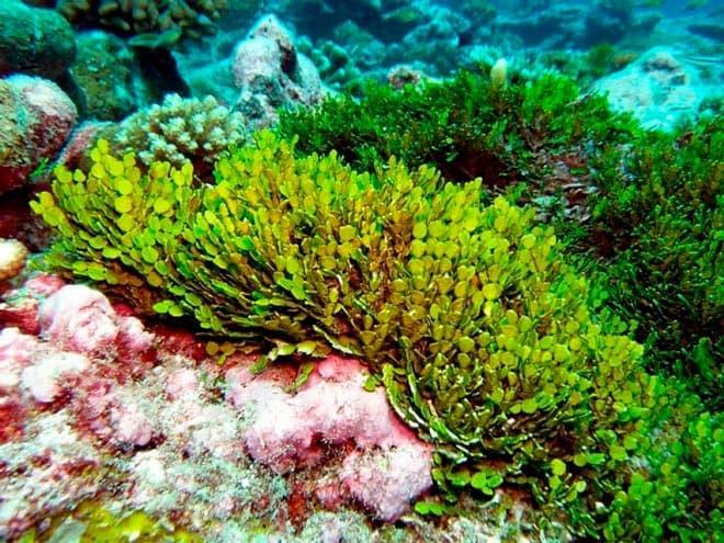 Растение халимеда