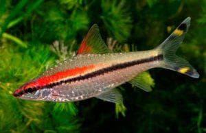 рыбка Sahyadria-denisonii