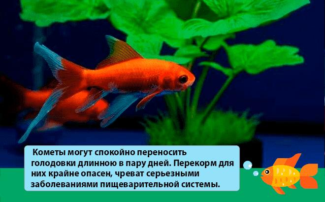 кормление рыбы кометы