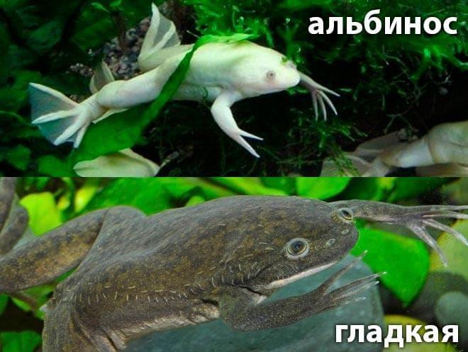 виды шпорцевой лягушки